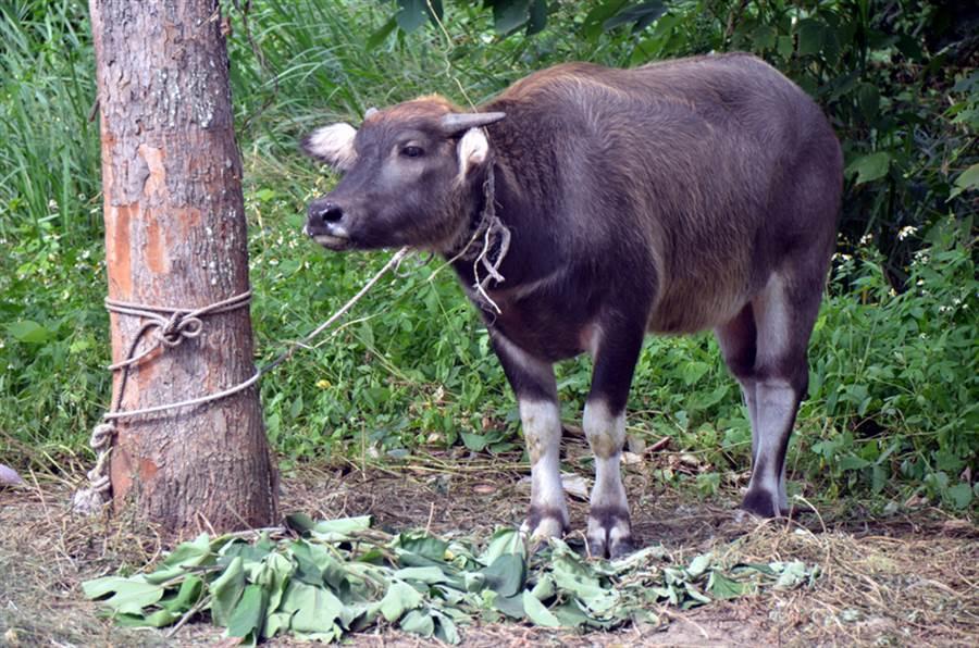 女騎士疑撞上放牧水牛摔車死亡。(非事發示意圖/中央社資料照)