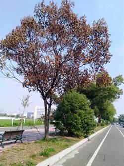 斗六中央分隔島褐根菌蔓延 公所砍樹但防「錯殺」