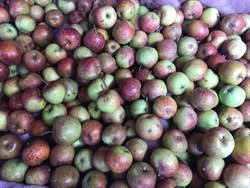 高山蜜蘋果產量驟減6成 買氣低迷零售凍漲