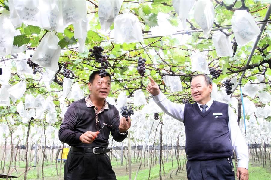 大村鄉農會總幹事廖瑞樺(右)說,由於葡萄冬果容易遭受秋颱和寒流的威脅,近年願意投入冬果生產的果農越來越少。(謝瓊雲攝)