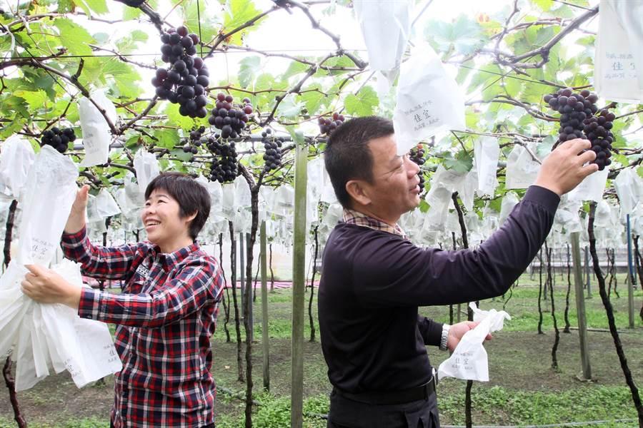 大村鄉巨峰葡萄冬果最近開始進入採收期。(謝瓊雲攝)