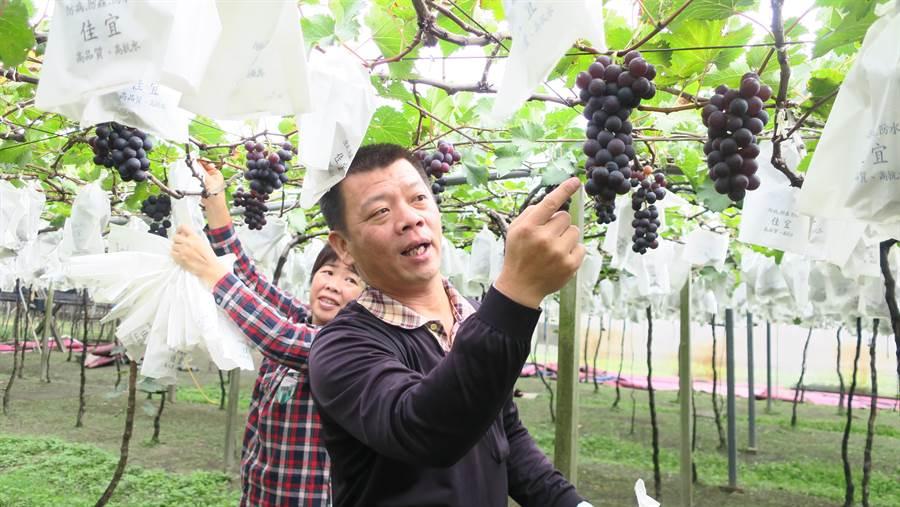 果農賴昶睿指,冬天的葡萄個頭雖小,但仍舊色澤飽滿,且相較於夏果,冬果的香氣十足,口感Q彈。(謝瓊雲攝)