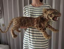 真的假的?台灣雲豹標本驚傳日本網拍 48萬日圓沒人買