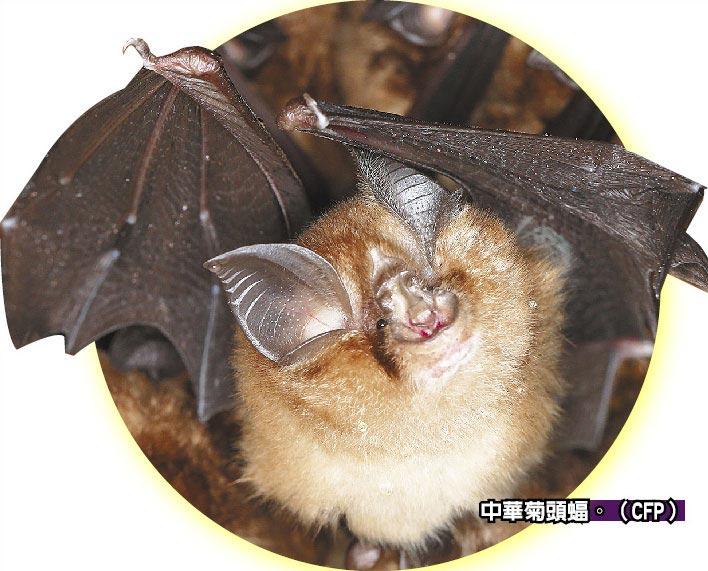 中華菊頭蝠。(CFP)