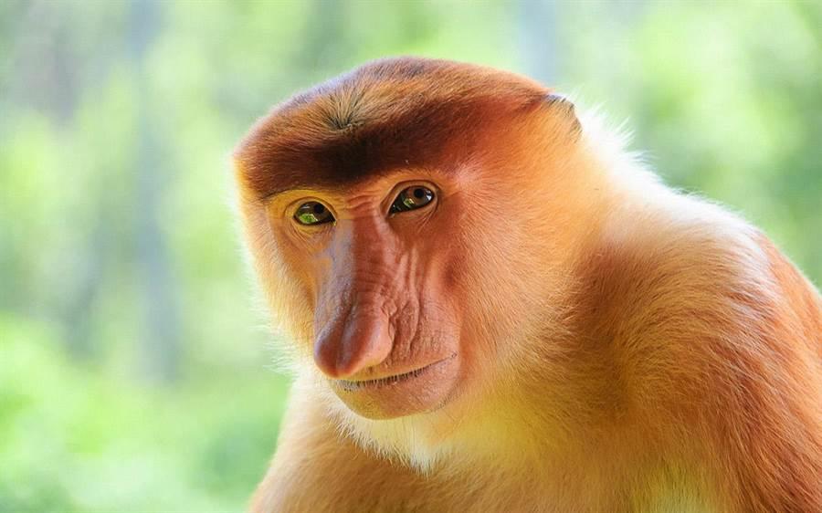 長鼻猴主要棲息於東南亞婆羅洲岸邊的紅樹林、沼澤及河畔的森林,碩大的鼻子非常有趣。(圖片/馬來西亞觀光局)