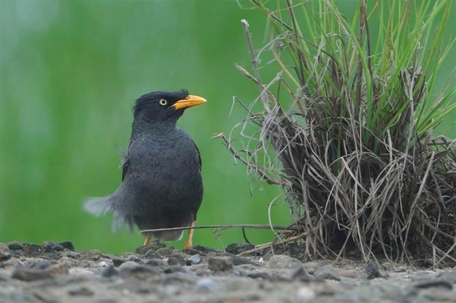 高速公路護欄上最常見的外來種「白尾八哥」,嘴喙是橘黃的。(沈揮勝攝)