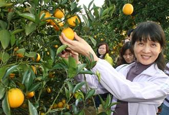 中寮鄉新興高經濟農特產「珍珠柑」媲美日本小甜橘