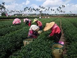 越南「觀光客」採茶打工 包吃包住還可賺6萬