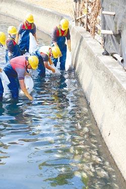 灌溉渠現魚屍 作物恐遭汙染