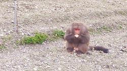 武陵餓猴群起 啃鬱金香球莖