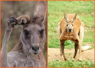 澳洲爆發出血性怪病  數百萬隻袋鼠神秘死亡