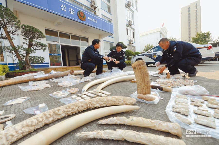 大陸將全面禁止象牙製品貿易。圖為2017年2月27日,福建森林公安破獲一起特大象牙非法制售案件。(新華社)