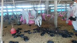 雲林縣雞場罹禽流感 撲殺1萬5000餘隻雞