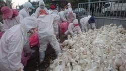 雲林再傳H5N2禽流感 撲殺1萬隻家禽