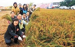 台南好米季豐收 親子割稻趣
