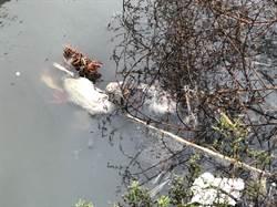 死鵝被丟排水溝 家畜疾病防治所追來源