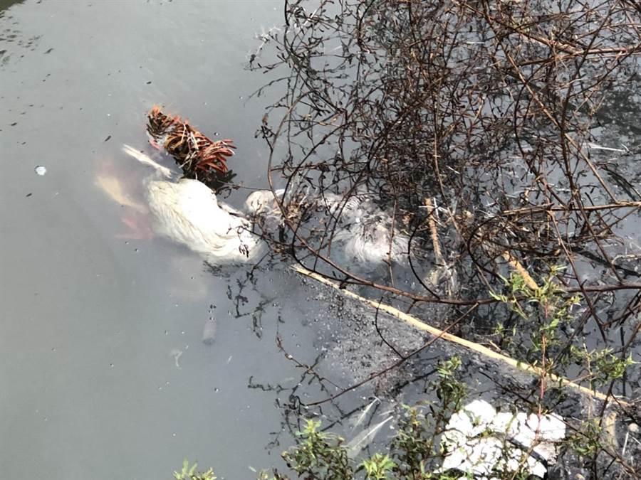 台82線,東石段路邊中排發現1隻疑遭人惡意丟棄的鵝隻屍體。(呂妍庭翻攝)