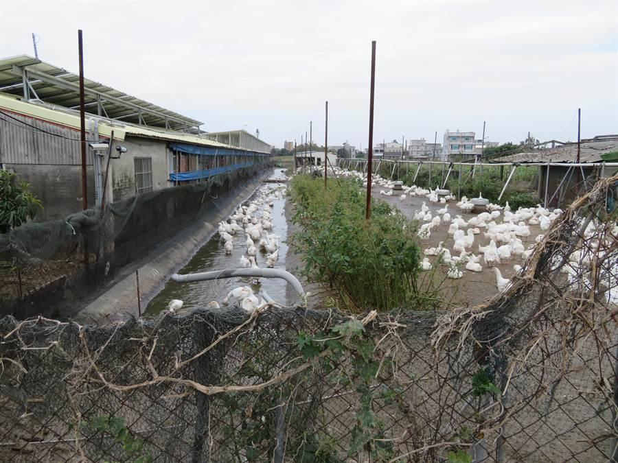 縣府呼籲養禽業者,面對禽流感疫情切勿掉以輕心,務必自主落實各項防疫工作。(呂妍庭翻攝)