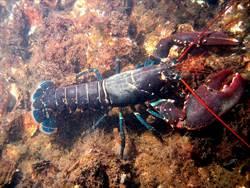 瑞士禁止以熱水灼熟活生生龍蝦