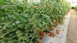 寒害農損約1890萬元 蕃茄最大宗