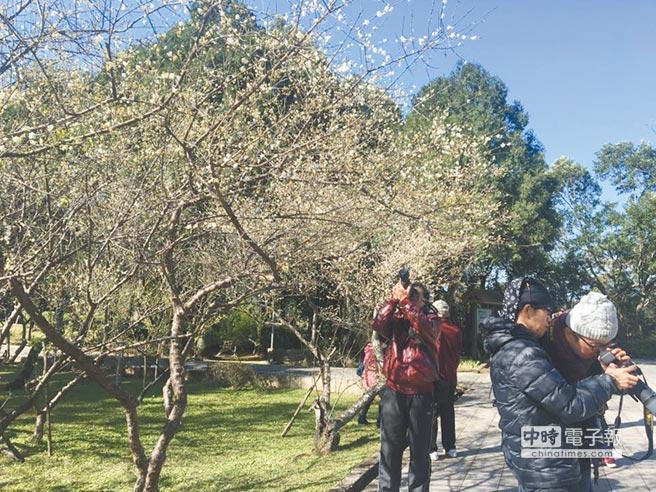 角板山行館梅花開,吸引攝影愛好者前往拍照。(呂筱蟬攝)