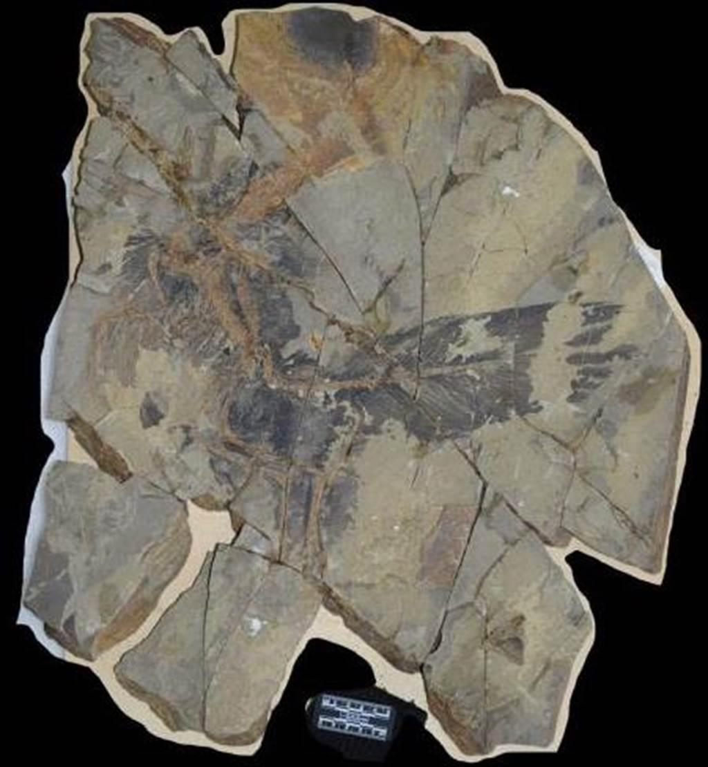 這片2014年出土的彩虹龍化石,保留了相當多的羽毛細節,甚至可以用顯微鏡分析細胞大小的細部構造。(圖/德州大學傑克森地球科學學院)