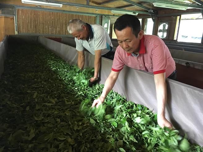 澀水社區為日月潭紅茶重鎮。(沈揮勝攝)