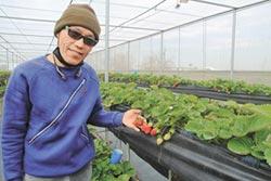 農友拚4年 七股種出香甜草莓