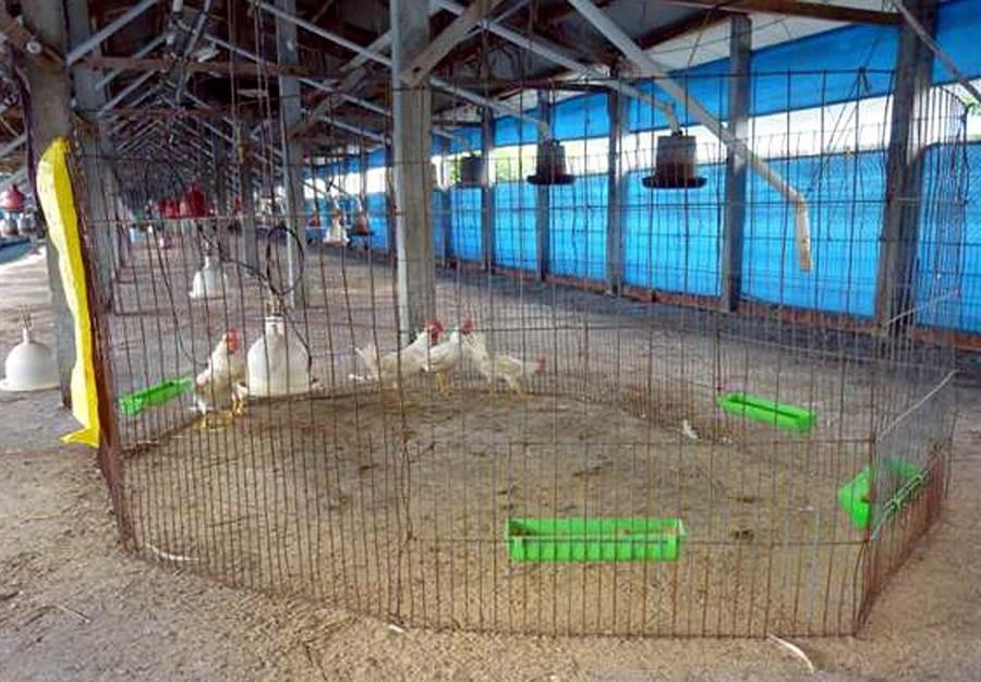 冬季是禽流感好發季節,感染禽流感的養禽場撲殺消毒後,必須要通過「哨兵雞試驗」,才能夠復養。(潘建志翻攝)