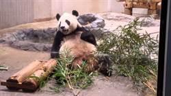 熊貓女兒「香香」人氣旺 爸爸「力力」卻沒人理