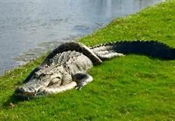 高球場奇觀 鱷魚與蟒蛇大戰