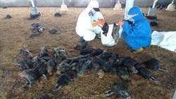 彰化大城鄉土雞場禽流感確診 撲殺1萬2312隻土雞