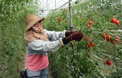 蕃茄難顧 農民請「外籍移工」協助授粉