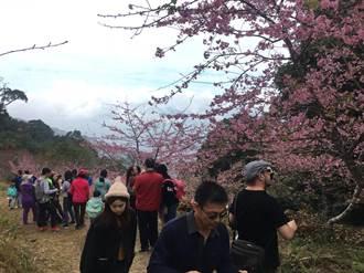 寶山櫻花陸續開花 上山賞花正是時候
