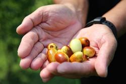 苗栗公館紅棗採收 良善食物換長久健康