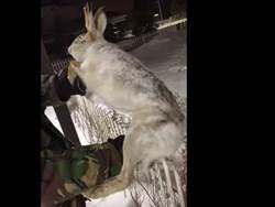 極度嚴寒! 哈薩克野兔凍僵成冰雕