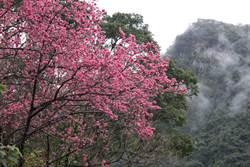 雲仙樂園櫻花盛開 花影搖曳雲霧間宛如仙境