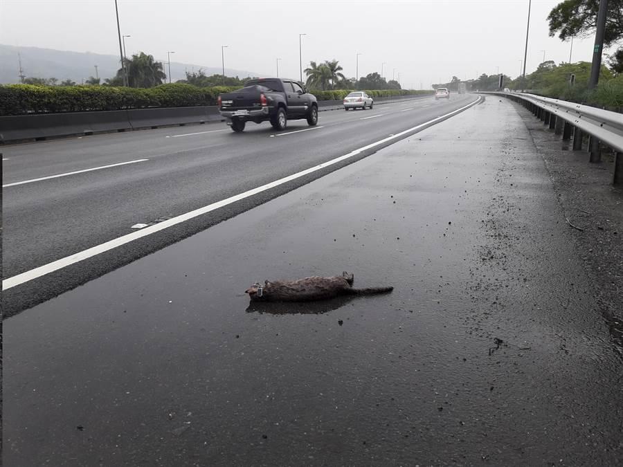 1月9日,小草二度遭路殺死亡。(農委會特生中心提供)