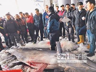破紀錄 台東捕獲563公斤旗魚