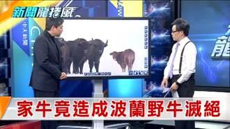 《新聞龍捲風》一隻普通農場母牛 竟造成波蘭野牛大滅絕?