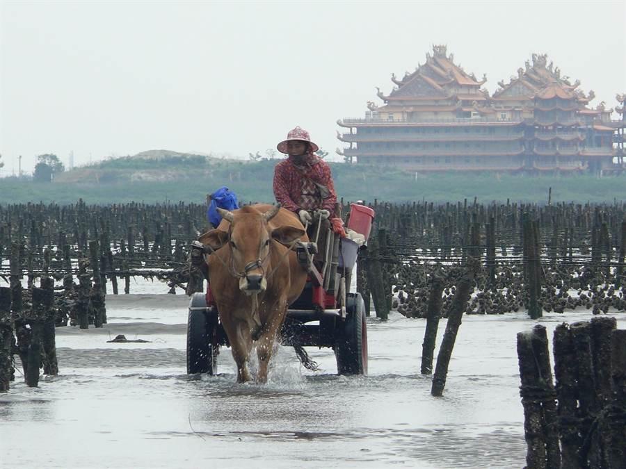 彰化海岸濕地,海牛採蚵,是獨一無二的人文風情。(吳敏菁攝)