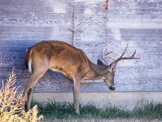 美國出現殭屍鹿 專家警告別食用病鹿肉