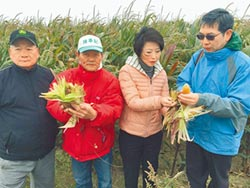 天氣冷颼颼 硬質玉米長不大