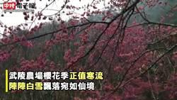 武陵櫻花盛開飄白雪 櫻花季登場日限6千人入園