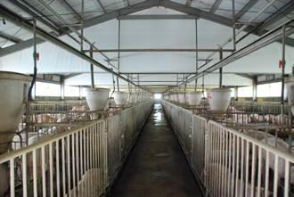 台糖豬舍改建明年「最陣痛」  少3萬頭豬價恐波動