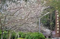 奧萬大櫻花盛開 泰雅渡假村影歌星大會串屬狗入園免費
