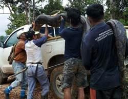 6公尺母巨蟒「叫春聲」過大 遭村民獵捕上餐桌