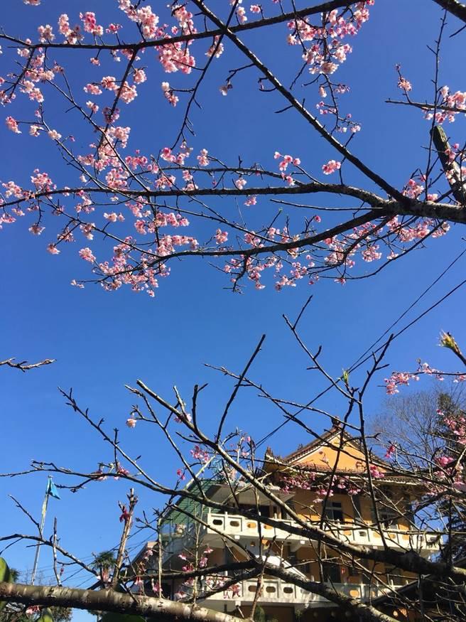 石碇無極天明宮櫻花已經綻放。(新北市政府提供)