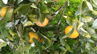 太冤了!生物碳茂谷柑被污為農藥茂谷柑