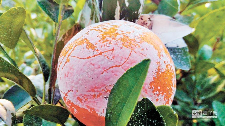 茂谷柑表皮白色粉末,主要是用來保護果實避免曬傷的碳酸鈣粉(CaCO3)。(馮惠宜翻攝)